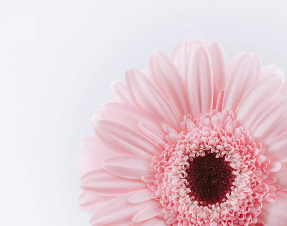 a pink single daisy flower