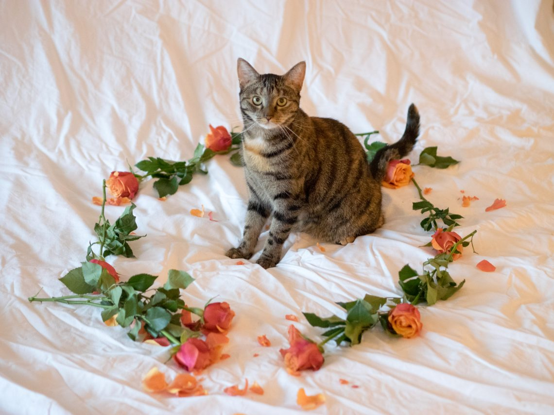 Our cat Szila with roses for Valentines