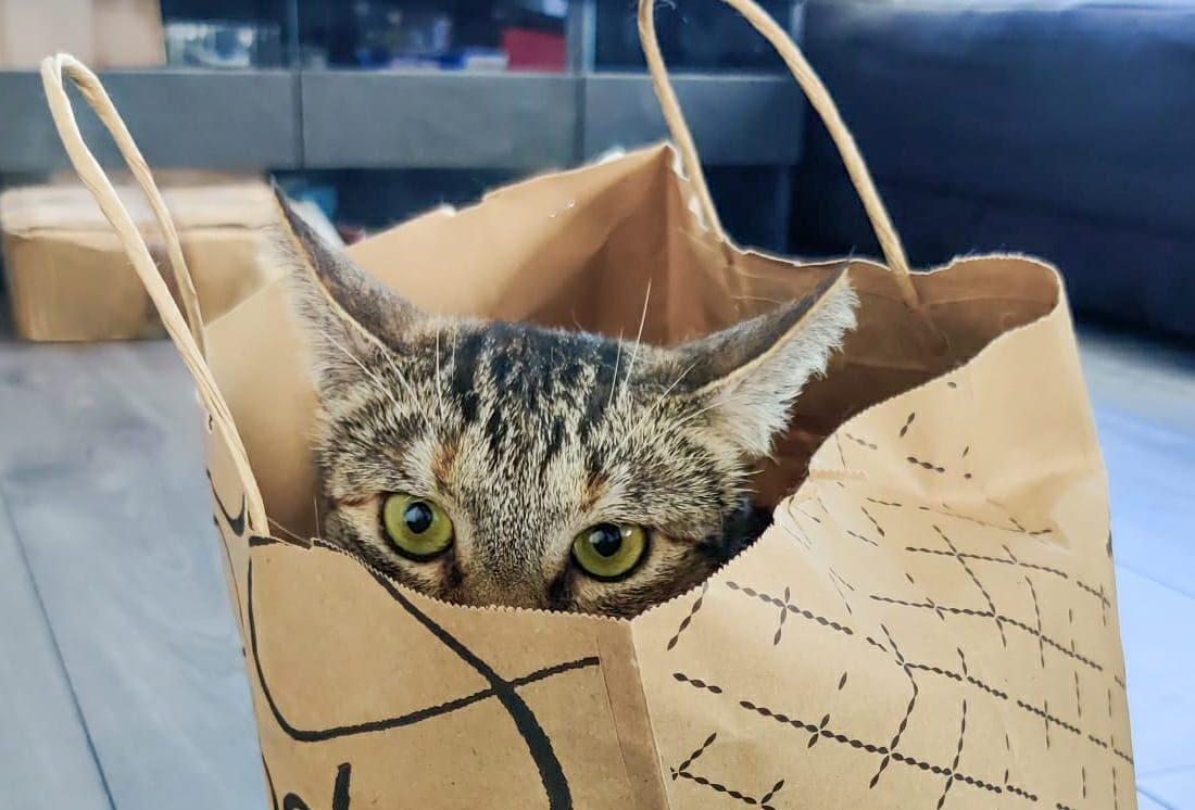 cat in a shopping bag